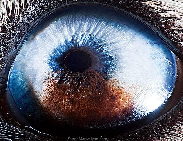 Yang ini adalah mata dari anjing jenis husky Pulsker.