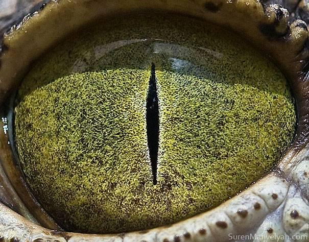 Tatapan tajam mata buaya, tapi bukan buaya darat lho guys. Sudah tau kan sekarang gengs bagaimana bentuk mata hewan sebenarnya?. Tuhan memang Maha Kuasa dengan segala ciptaannya, semoga setelah melihat foto mata hewan tersebut kita jadi makin mengagumi ciptaan Tuhan. (Sumber : Bored Panda, Yukepo.com)