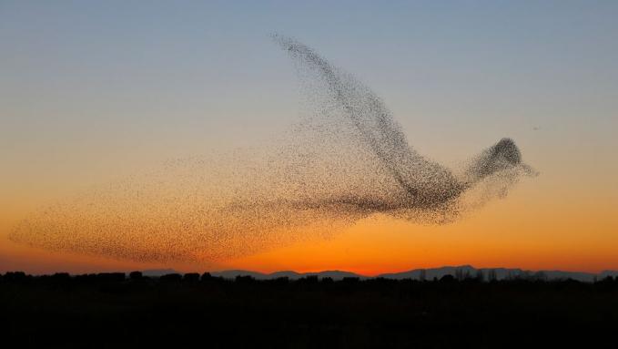 Seolah ada yang mengkomando, kawanan burung tersebut meliuk-liuk hingga membentuk sebuah formasi menakjubkan.