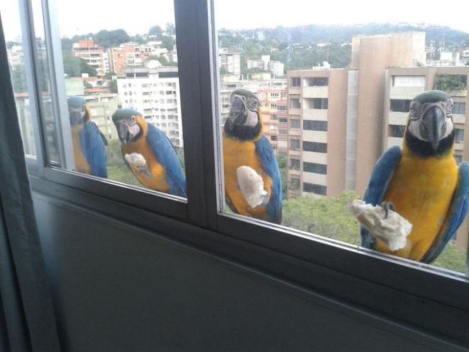 Wah, baik banget ya gerombolan burung macaw ini. Mereka seolah terlihat sedang membersihkan kaca jendela.
