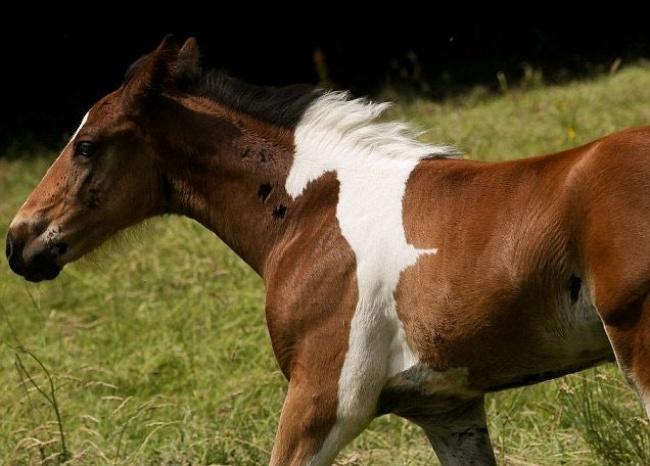 Kuda ini punya motif unik berupa siluet yang membentuk bayangan dirinya Pulsker.