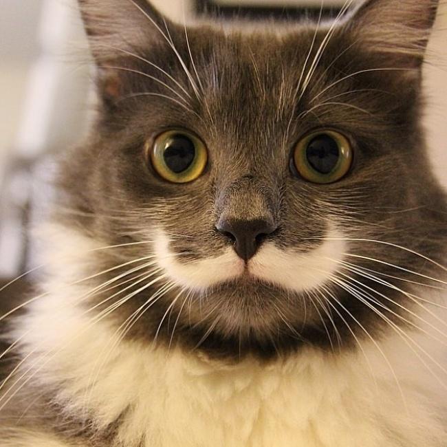 Nggak hanya manusia aja Pulsker, kucing pun juga punya motif berbentuk kumis kece biar makin macho.