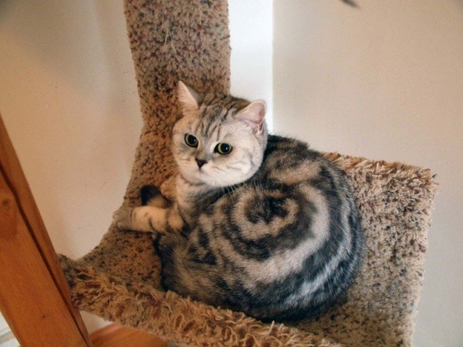 Motifnya mirip banget sama crop circle. Tapi punya si kucing bukan dibuat oleh alien, melainkan alami sudah dari sananya.