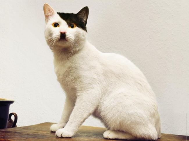 Banyak yang bilang sih kucing lucu ini punya kemiripan seperti Adolf Hitler. Terutama dari kumis dan gaya rambut sang diktator.