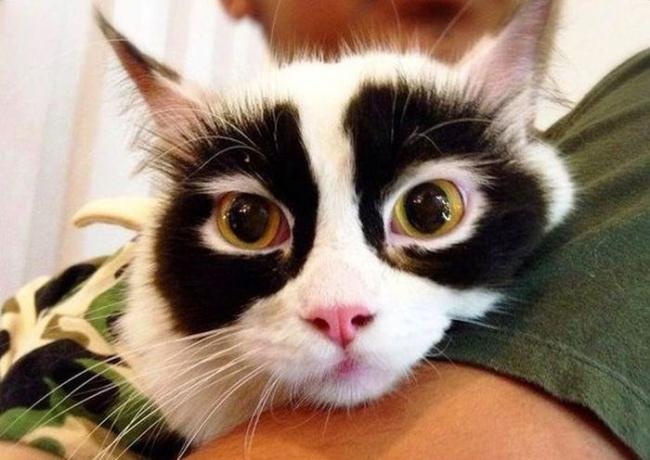 Sekitar mata kucingnya berwarna hitam mengingatkan kita pada sosok Zoro dengan topengnya ya. Unik-unik kan Pulsker motif bulu hewannya?. Duh, jadi pengen punya deh.