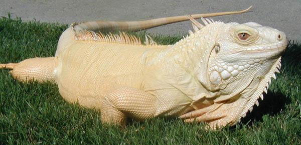 Wah, kalau iguananya kayak gini bakalan ketahuan deh penyamarannya.