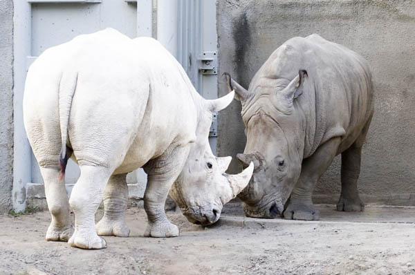 Bisa kalian bandingkan badak dalam kondisi normal dan badak dengan tubuh albino.