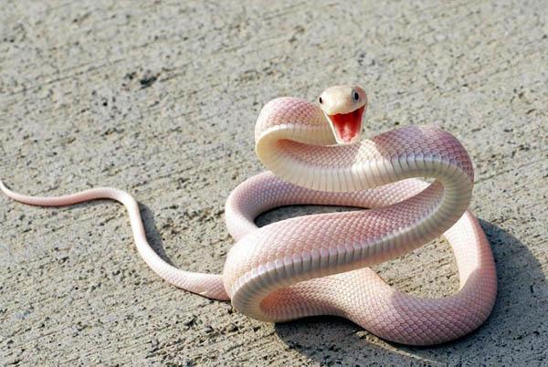 Walaupun nampaknya lucu dan menggemaskan, jangan dekat-dekat sama ular albinonya ya guys. Mereka bisa agresif kalau merasa terganggu.