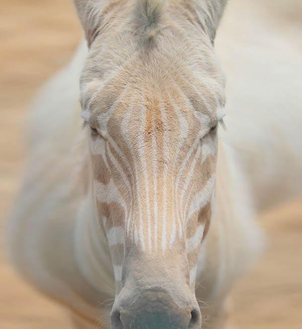 Zebra albino tidak memiliki motif berwarna hitam secara sempurna.