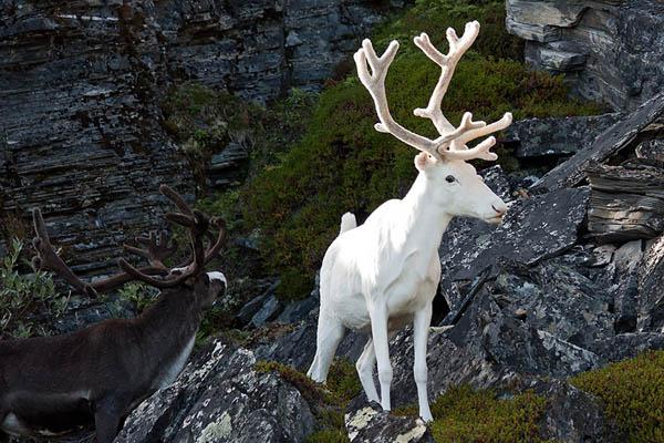 Mungkin rusa putih sering kita dengar dalam dongeng-dongeng Sinterklas. Namun, rusa putih albino benar-benar ada di alam nyata lho.