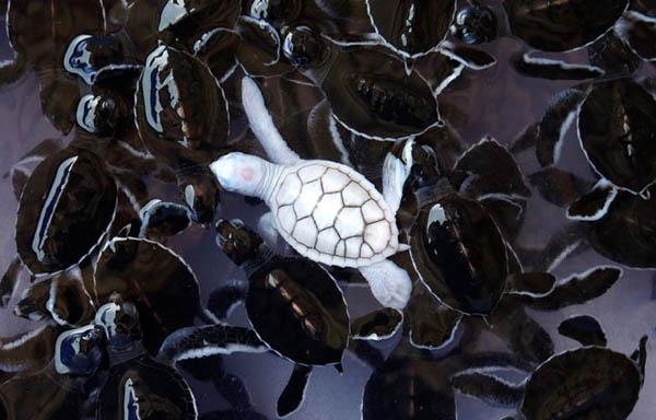 Kura-kura yang beda sendiri dari sesamanya. Gimana menurut kalian Pulsker?. Mereka malah terlihat lebih cantik dari aslinya ya?.