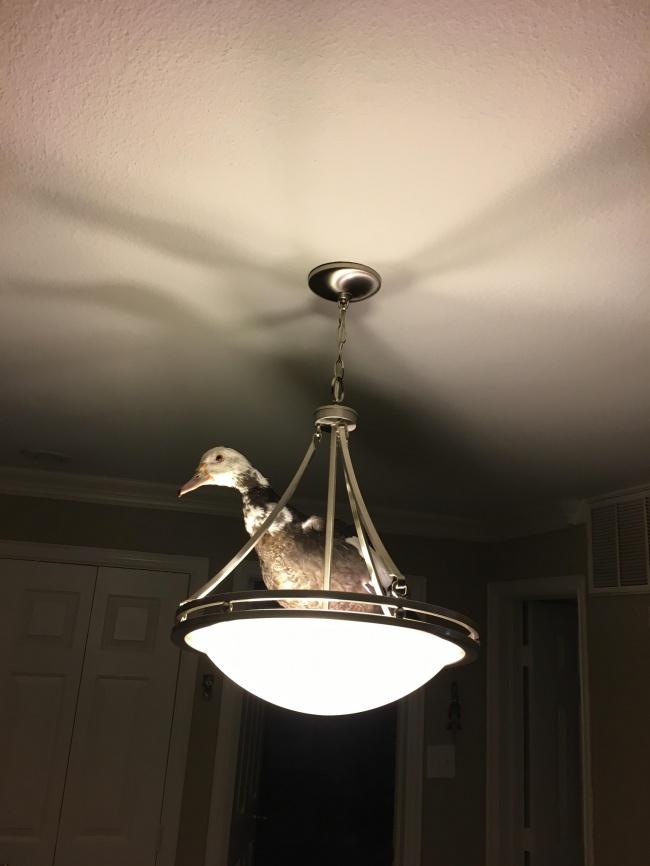 Ada bebek diatas lampu, pertanda apa ya?