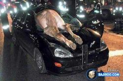 7 Foto Peristiwa Kecelakaan Terparah Mobil vs Hewan