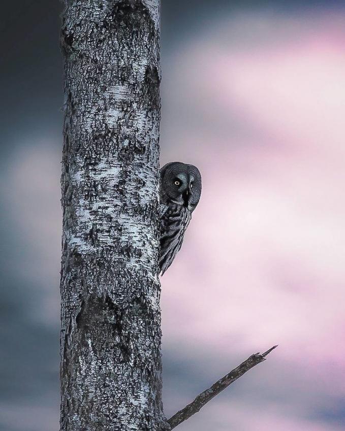 Si burhan alias burung hantu lagi ngintip, kira-kira udah pada aman belum nih buat nyari mangsa.