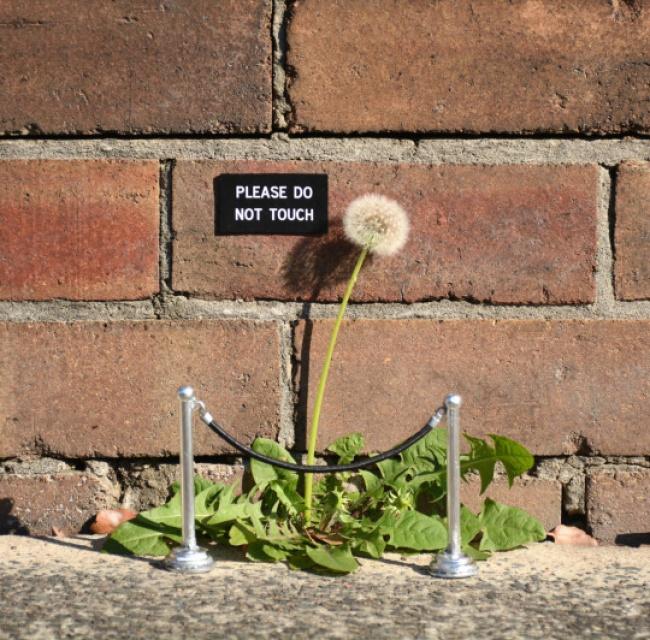 Padahal sebenarnya ini tanaman liar, tapi begitu terlihat berharga saat ada tulisna tolong jangan disentuh.