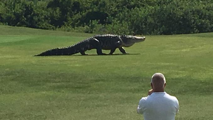 Ketika ada pertandingan golf di Myakka Golf Club Florida, tiba-tiba ada seekor aligator besar muncul dengan santainya. Pasti bikin ngeri dan shock yaa.