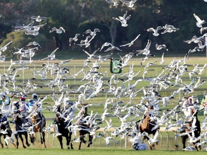 Ketika pertandingan pacuan kuda tiba-tiba Ada rombongan pelikan yang melintas didepan mereka. Bukan cuman bikin kaget orangnya aja tapi kudanya juga.