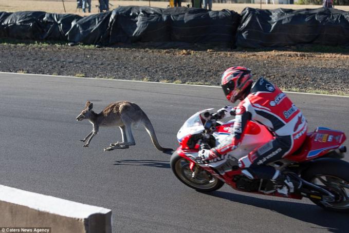 Saat pertandingan superbike tiba-tiba ada kangguru yang melintas di depan para peserta. Untung saja tidak sampai tertabrak.