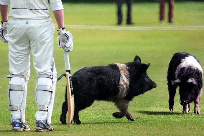 Di tahun 2014 dua ekor babi sempat mengganggu jalannya pertandingan kriket Pertandingan terpaksa dihentikan sementara sampai hewan ini bisa dievakuasi keluar lapangan.