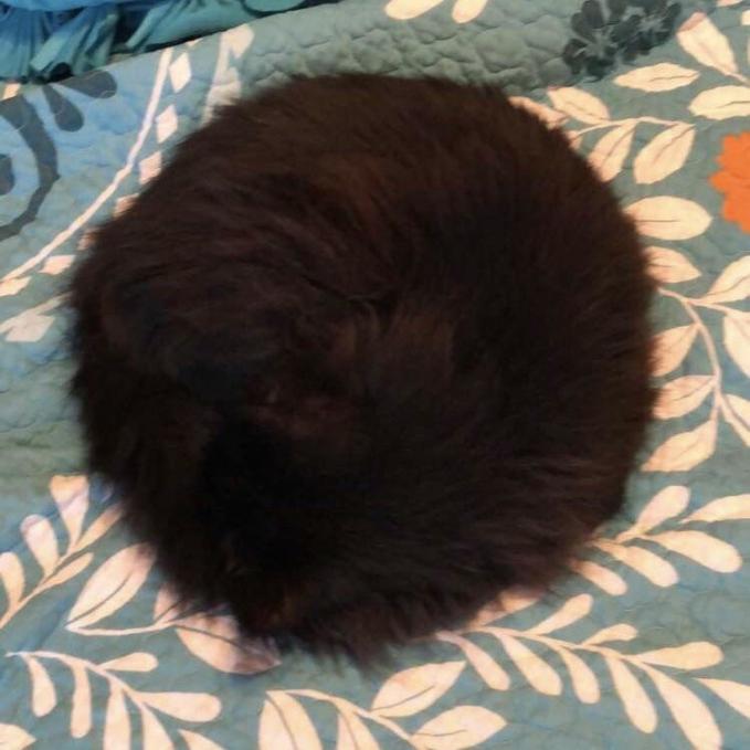 Apa kamu meyangka ini kepala seorang anak kecil? Atau bola bulat berbulu? Bukan, ternyata ini adalah seekor kucing hitam yang sedang tidur siang. Lucu ya?!