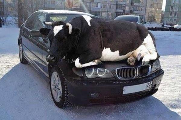 Waduh, saat mobil BMW jadi tempat nongkrong sapi gede. Kira-kira penyok nggak ya??