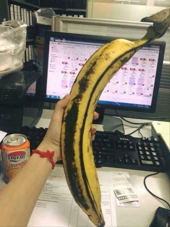 Kalau pisangnya segede ini pasti deh bakalan kenyang seharian makan satu biji saja.