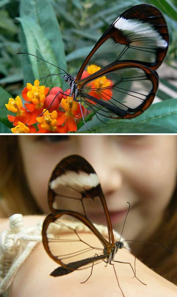 Pertama ada kupu-kupu Greta Oto atau glasswinged butterfly. Kupu-kupu jenis kaki sikat ini biasa ditemukan di Amerika Tengah sampai Amerika Selatan hingga Chili. Hewan ini juga bermigrasi ke utara sampai Meksiko ataupun Texas.
