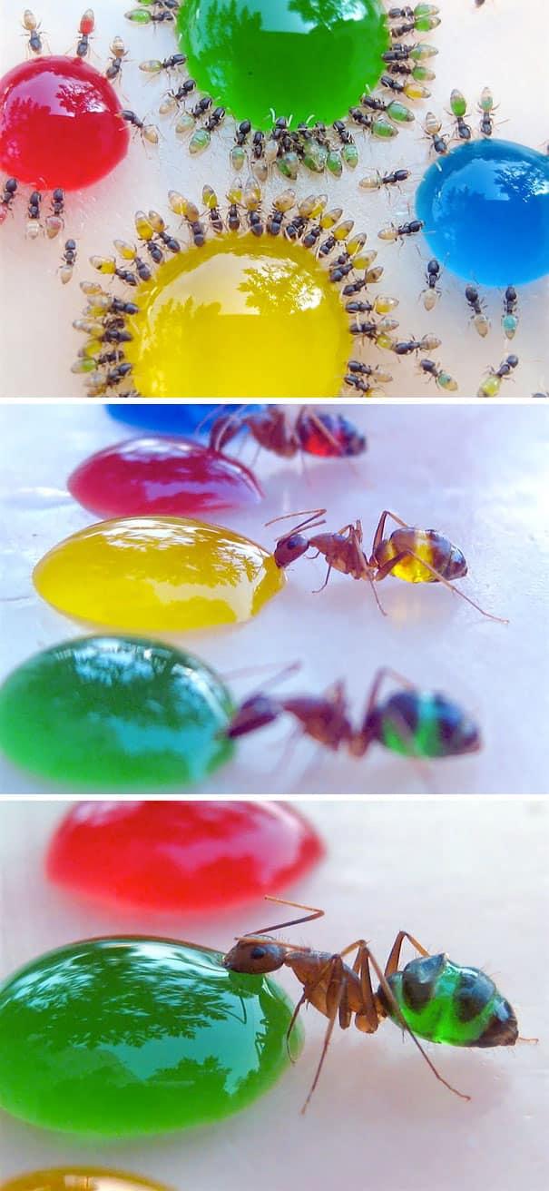 Beda dari semut biasanya, semut bernama latin Monomorium Pharaonis didominasi warna kuning atau coklat muda dengan bagian belakang transparan. Ukurannya hanya 2 mm saja dan habitatnya ada di hampir tiap benua Pulsker.