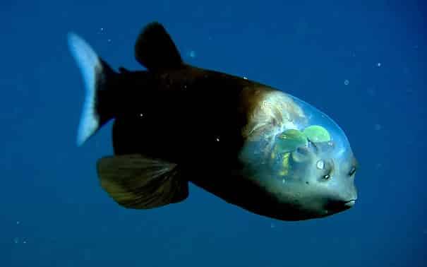 Ikan jenis Macropina ini unya bagian kepala unik lho Pulsker. Bagian transparan tersebut memungkinkan kita untuk bisa melihat bagian dalam kepalanya. Keberadaannya sudah diketahui sejak tahun 1939 silam namun baru muncul pada sekitaran 2004 lalu.