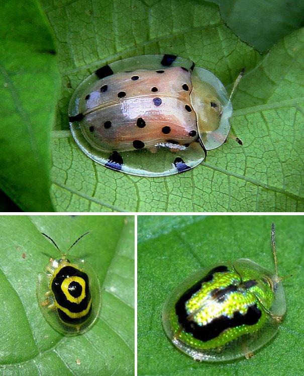 Ini bukan sembarang kumbang gengs. Tortoise Shell Beetle memiliki tempurung transparan dengan warna mencolok di dalamnya. Tujuannya untuk memberi peringatan pada para predator sekaligus alat untuk mengelabuhi diri. Walaupun dari jenis yang sama ternyata corak tempurung tiap serangga ini beda-beda lho.