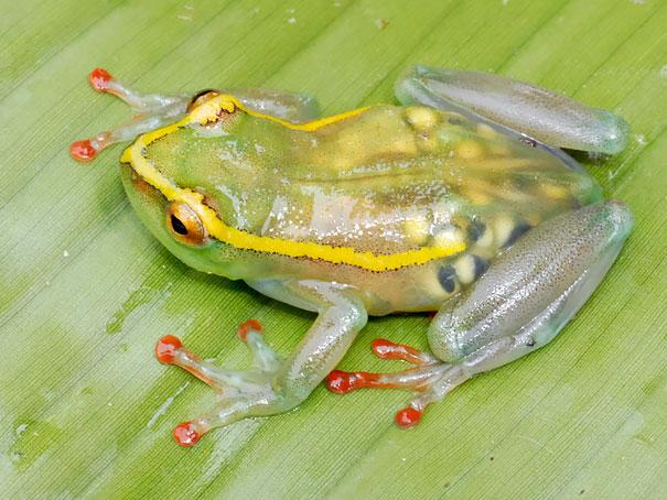 Di negara Republik Demokratik Kongo, ada katak transparan unik dari jenis spesies Hyperoliidae. Awalnya katak ini diperkirakan punah Pulsker. Namun, tahun 2011 rombongan yang dipimpin oleh Eli Greenbaum dari University of Texas El Paso menemukan katak ini di tepi Sungai Elila, anak sungai Lualaba.