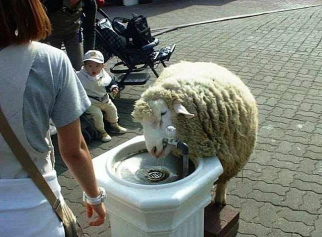 Domba juga nggak kuat merasakan panasnya suhu di siang hari.