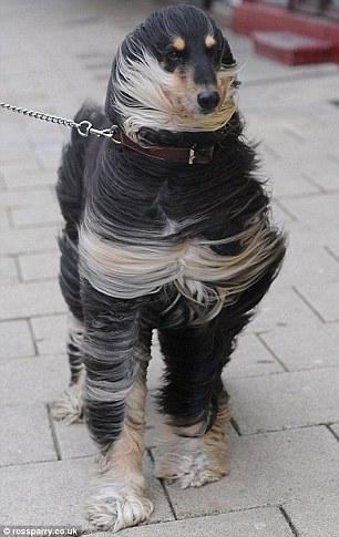 Saking besarnya hembusan angin sampai membuat bulu anjing ini tersibak.