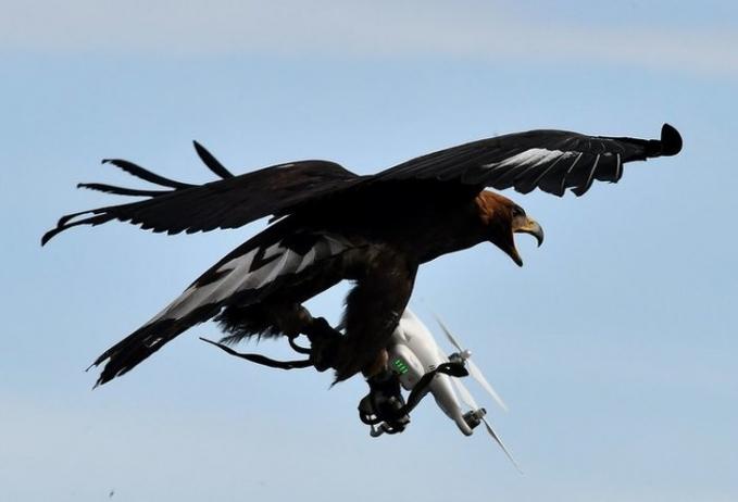 Mungkin drone ini dianggap mengganggu oleh si elang. Sampai-sampai dia menerkamnya tuh Pulsker.