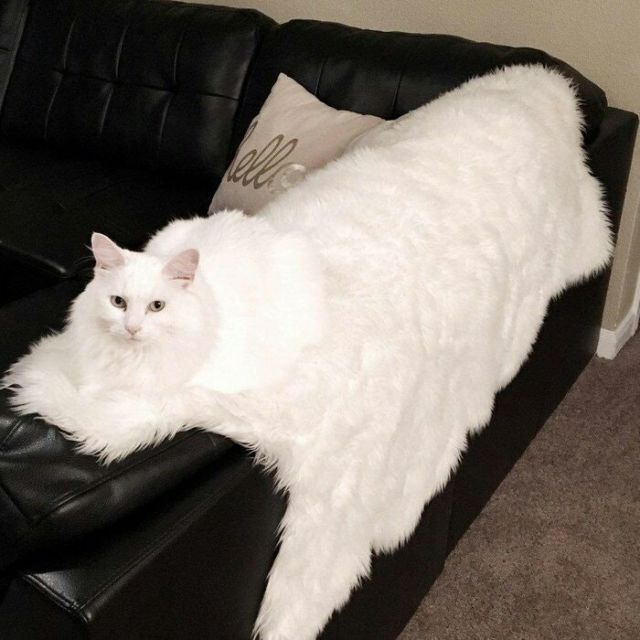 Kucingnya keliatan kayak kucing raksasa, jangan salah, itu adalah kain bulu berwarna putih yang diduduki kucing.