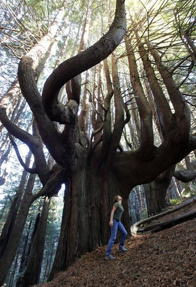 Pohon dengan bentuk yang sangat besar dan aneh ini tumbuh di sebuah hutan.