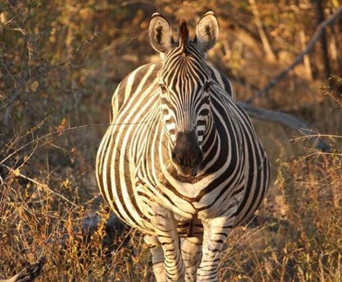 Walaupun lagi hamil tetap nyari makan buat asupan gizi si calon buah hati ibu zebra.
