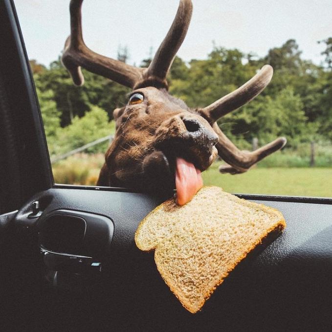 Hayooo, ketahuan deh kalau si rusa pengen mencicipi roti tawar pengunjung taman safari.