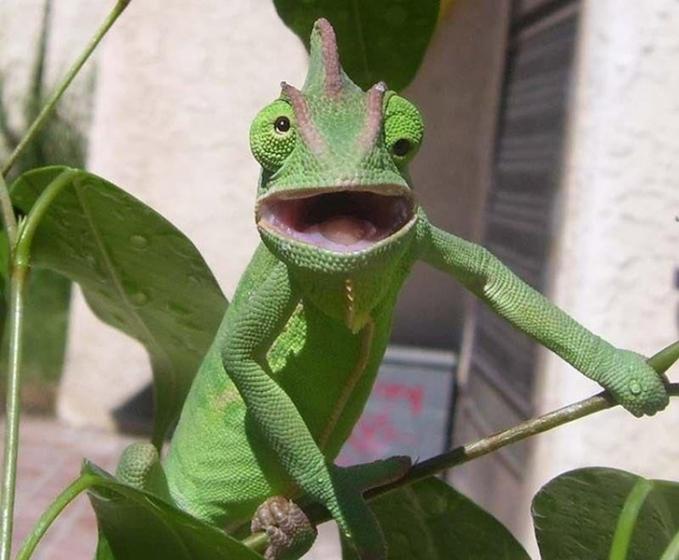 Ekspresi sok cool yang ditunjukkan oleh seekor iguana lucu ini.
