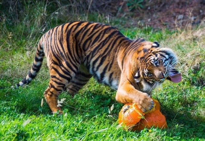 Saking laparnya atau nggak kuat nahan godaan ekspresi harimaunya sampai segitunya.