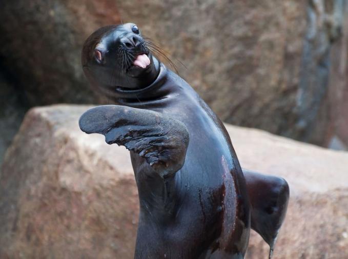 Sadar kamera juga nih si anjing lautnya Pulsker. Gimana, unik kan foto-foto hewannya?