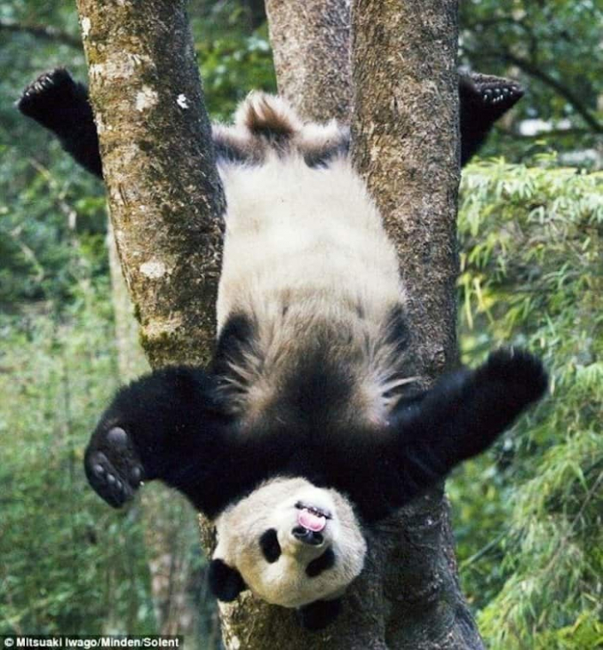 Gini jadinya kalau anak panda bermain tanpa pengawasan orang tuanya, nyangkut di pohon.