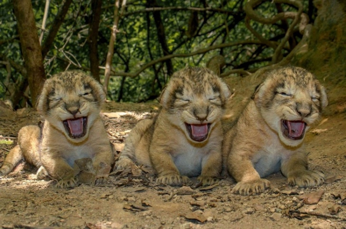Ini adalah anak seekor singa Asia yang lagi berbaris rapi.