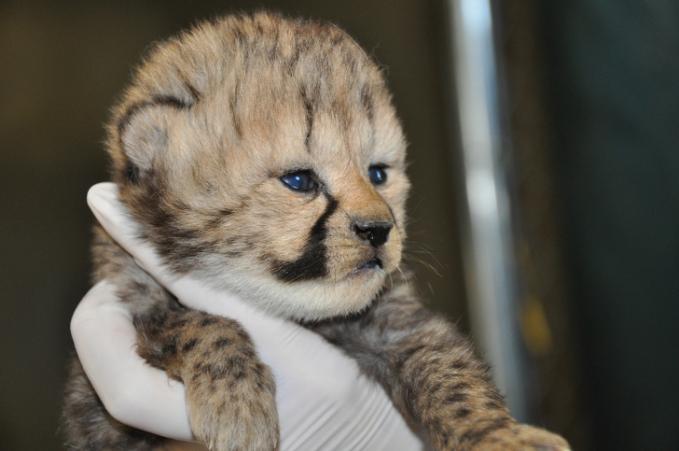 Bayi cheetah dengan pose menggemaskan banget gengs.
