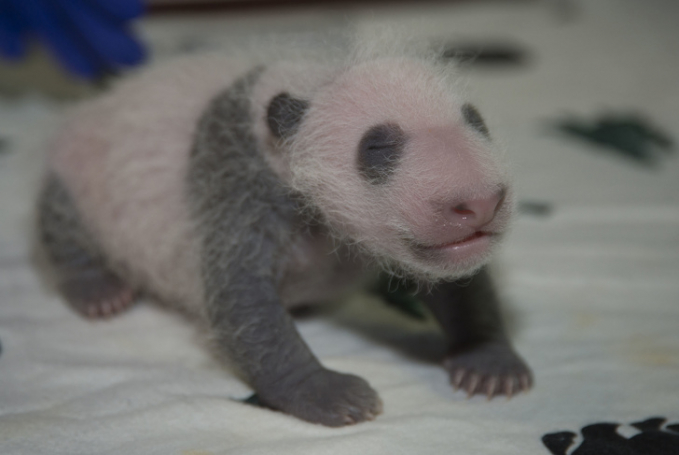 Eits, yang kalian liat ini bukanlah boneka Pulsker. Tapi bayi seekor panda lho.