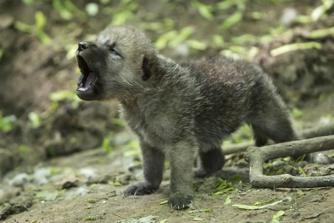 Anak seekor serigala mencoba melolong memanggil induknya.