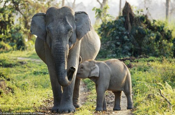 Anak gajah yang nggak mau lepas dari induknya. Lucu-lucu ya Pulsker bayi hewan predatornya?. Beda banget kalau mereka udah dewasa. Lucu hilang dan berganti jadi hewan sangar.