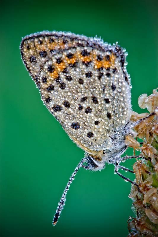 Seekor kupu-kupu dengan tetesan embun di sayap dan tubuhnya.