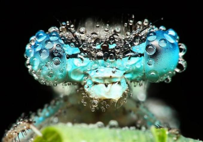 Mata serangga kalau dilihat dari dekat banget bersama tetesan embun. Wah, keren-keren ya Pulsker foto serangga dari dekat yang terkena embun karya David Chambon ini.