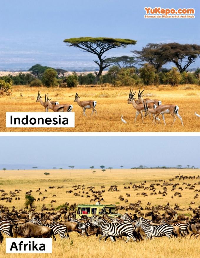 Taman Nasional Baluran Jawa Timur Vs Taman Nasional Serengeti, Afrika.